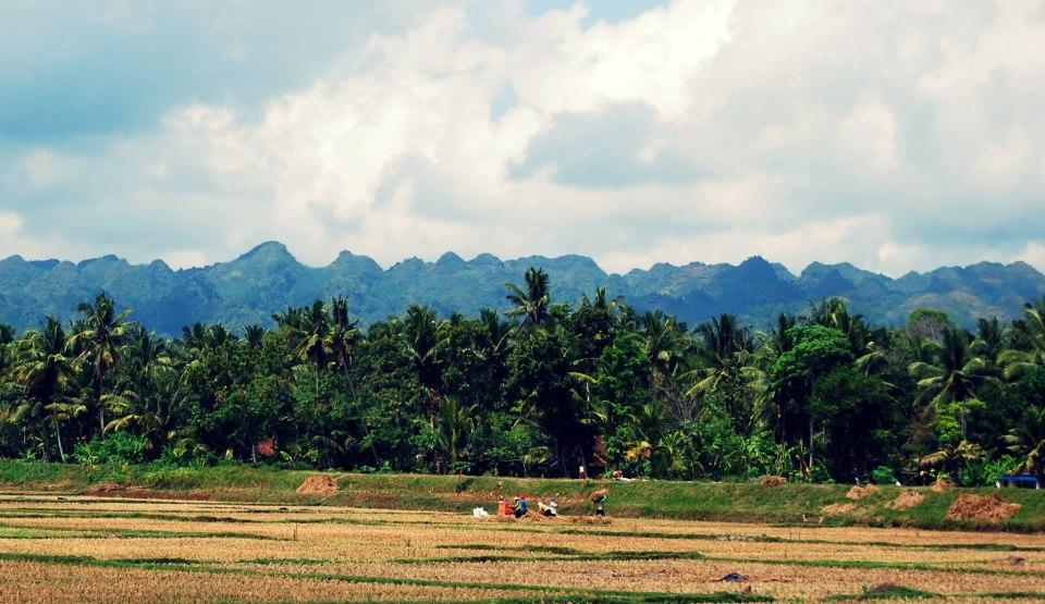 Petani usai panen dengan latar bukit bukit karst Gombong / Karangbolong (Foto: Rasyid Gumoong)