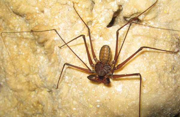 Sarax Sp, biota gua dari Famili Charinidae (Foto: IMPALA UB)